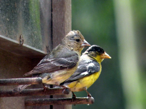 Goldfinch, Lesser