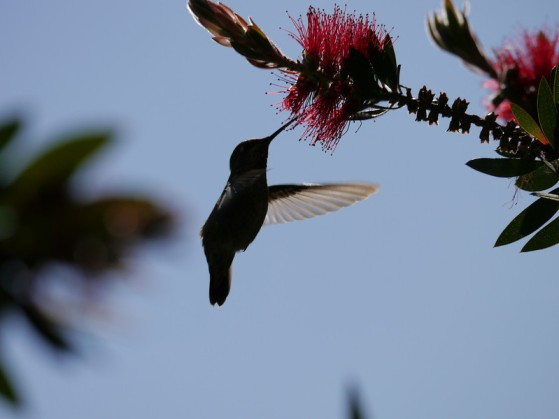 Hummingbird, Anna 2