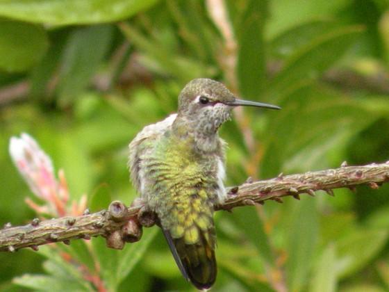 Hummingbird, Anna 3