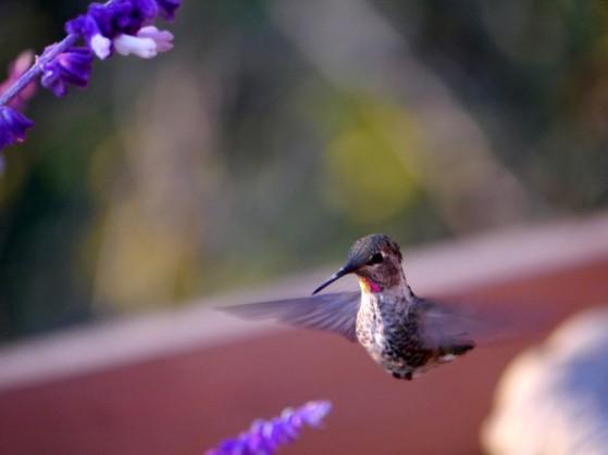 Hummingbird, Anna
