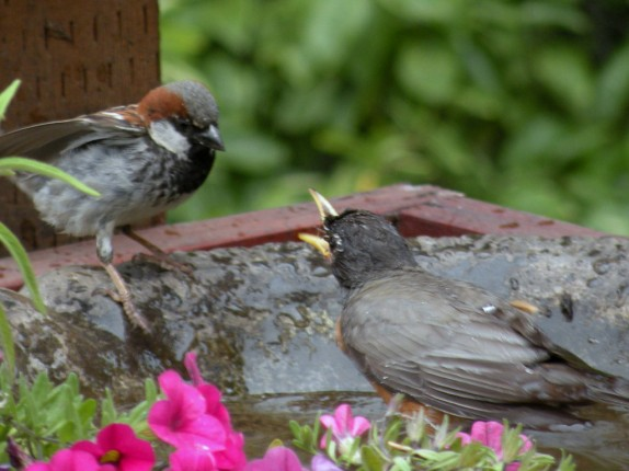 Sparrow - House and Robin, American