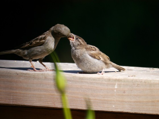 Sparrow, House, female, feeding a Cow Bird