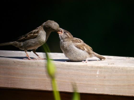 Sparrow, House, female, feeding a Cow Bird