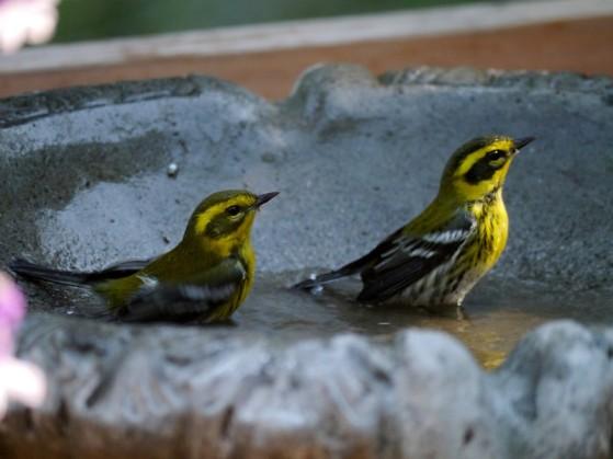 Warbler, Townsends