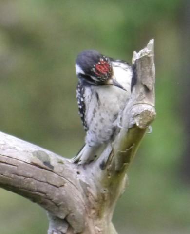 Woodpecker, Downy, male 2