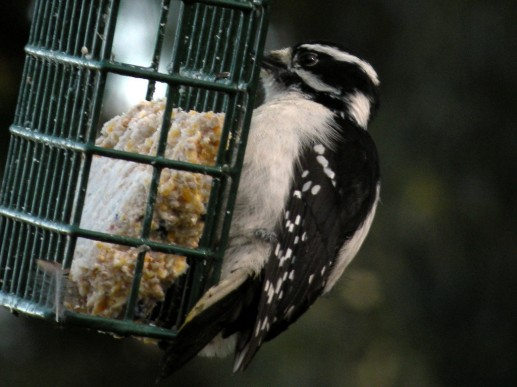 Woodpecker, downy, male