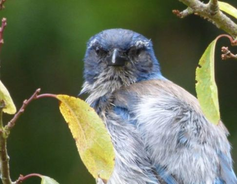 New way to wake up Craig- a very chuffed, very loud, Western Scrub Jay