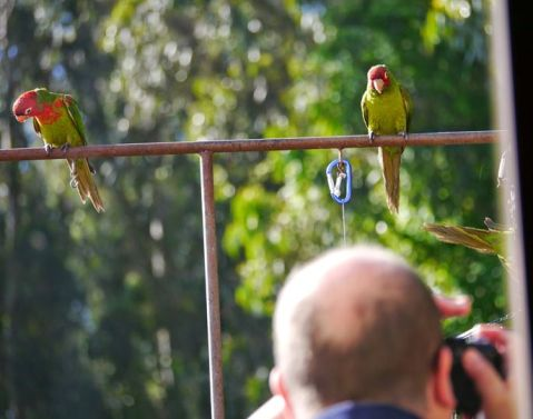 Parrots, skeptical and amused (at least the bald spot hasn't grown in  20 years...)